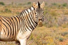 Dusty Zebra som ser kameran Arkivfoton