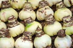 Dutch amarillys bulbs for sale Stock Photos