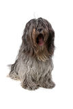 Dutch bearded collie Royalty Free Stock Photography