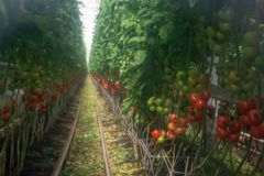 Dutch bio farming, big greenhouse with tomato plants, growing in. Door, ripe and unripe tomatoes on vines. Applied soft low-clarity filter for artistic effect Stock Photo