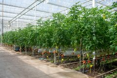 Dutch bio farming, big greenhouse with tomato plants, growing in. Door, ripe and unripe tomatoes on vines stock images