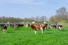 Dutch black and white cows Royalty Free Stock Image