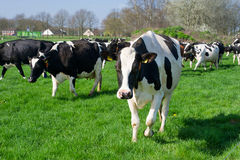 Dutch black and white cows Royalty Free Stock Photos