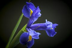Dutch Blue Iris on Black Background royalty free stock image