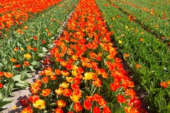 Dutch bollenstreek bulb area in full bloom attracts over 1 million visitors a year stock image