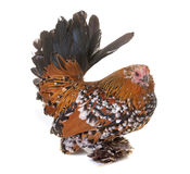 Dutch Booted Bantam. In front of white background stock image