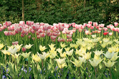Dutch bulb field Royalty Free Stock Image