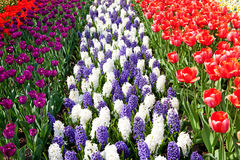 Dutch bulb field with colorful tulips and Hyacinth flowers Stock Photo