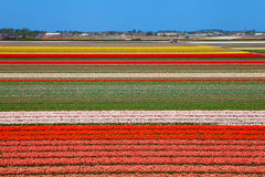 Dutch bulb field Stock Images