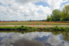 Dutch bulb field in Lisse Royalty Free Stock Photo