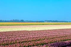 Dutch bulb field Royalty Free Stock Photos