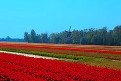 Dutch bulb field Stock Photography