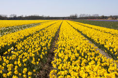 Dutch Bulb fields Royalty Free Stock Photo