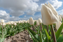 Dutch bulb fields with the famous Tulips Royalty Free Stock Image