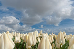 Dutch bulb fields with the famous Tulips Stock Photo
