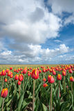 Dutch bulb fields with the famous Tulips Royalty Free Stock Photo