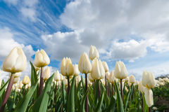 Dutch bulb fields with the famous Tulips Stock Photography