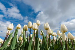 Dutch bulb fields with the famous Tulips Royalty Free Stock Photography