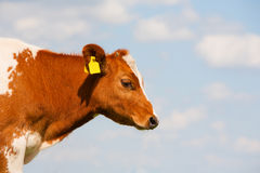 Dutch calf Royalty Free Stock Photography