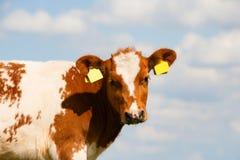 Dutch calf Stock Images
