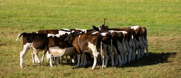 Dutch calfs Royalty Free Stock Images