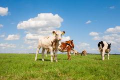 Dutch calves Royalty Free Stock Photography