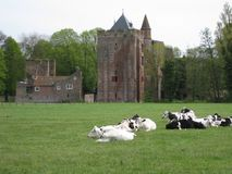Dutch cattle Stock Image