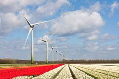 Dutch colorful tulip fields with wind turbines Stock Photos
