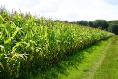Dutch corn fields Stock Photo