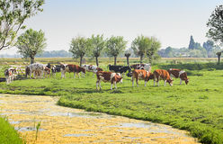 Dutch country landscape with cows and sheep Royalty Free Stock Image