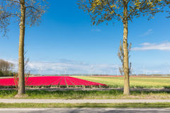 Dutch country road with colorful tulip fields and wind turbines Stock Photos