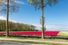 Dutch country road with colorful tulip fields and wind turbines Stock Images