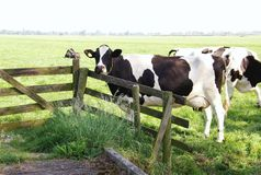 Dutch cow Royalty Free Stock Image