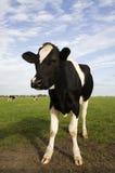 Dutch cow Stock Image