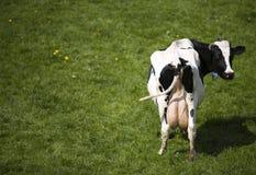 Dutch cow stock photos