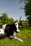 Dutch cow Stock Photos