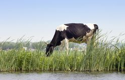 Dutch Cow. A Dutch cow grazing along a chanal on a dyke with a rural scene in the background Royalty Free Stock Photo