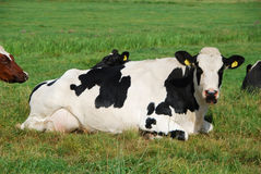 Dutch cow. In a field Royalty Free Stock Photo
