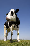 Dutch cow Stock Images