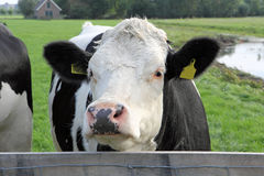 Dutch cow close up Royalty Free Stock Image