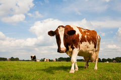 Dutch cow Royalty Free Stock Photos