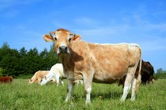 Dutch Cow In Pasture 03 Stock Image