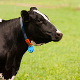 Dutch cow Royalty Free Stock Photography