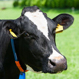 Dutch cow Royalty Free Stock Images