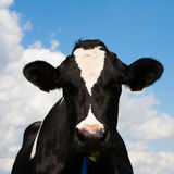 Dutch cow Royalty Free Stock Photo