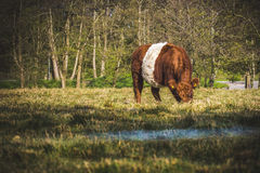 Dutch cow Stock Images