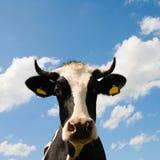 Dutch cow Royalty Free Stock Photo