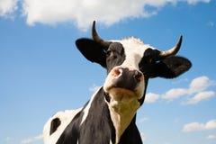 Dutch cow Royalty Free Stock Photos
