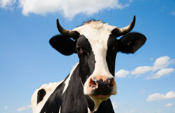 Dutch cow Stock Photography