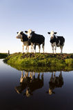 Dutch cows Royalty Free Stock Images